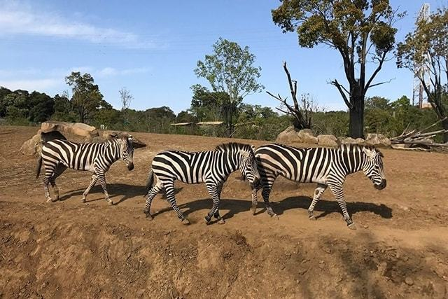 『よこはま動物園 ズーラシア』日本最大級動物園攻略!お土産情報も