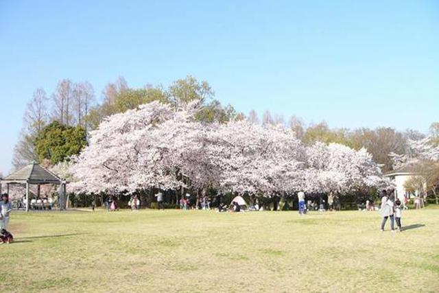 さいたま市で桜のお花見5選!見沼グリーンセンター・大宮周辺情報も