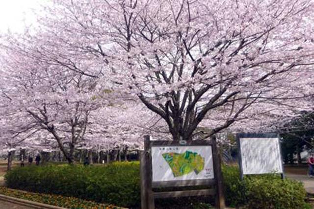 千葉県おすすめお花見スポット10選!お弁当を持って名所を満喫!