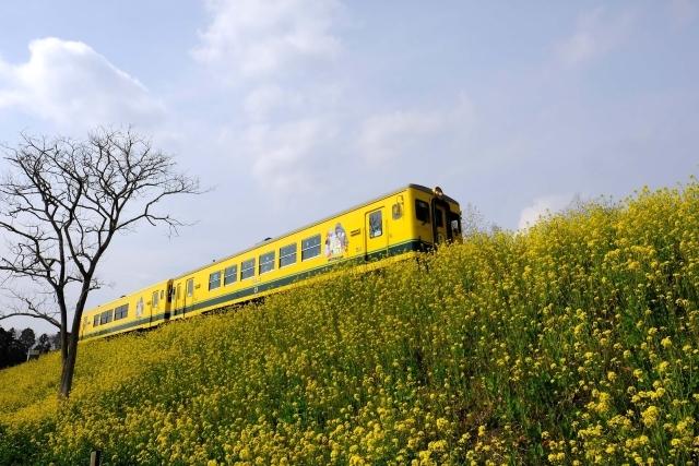 いすみ鉄道は菜の花畑を走るムーミン列車!アクセス、最寄り駅、料金