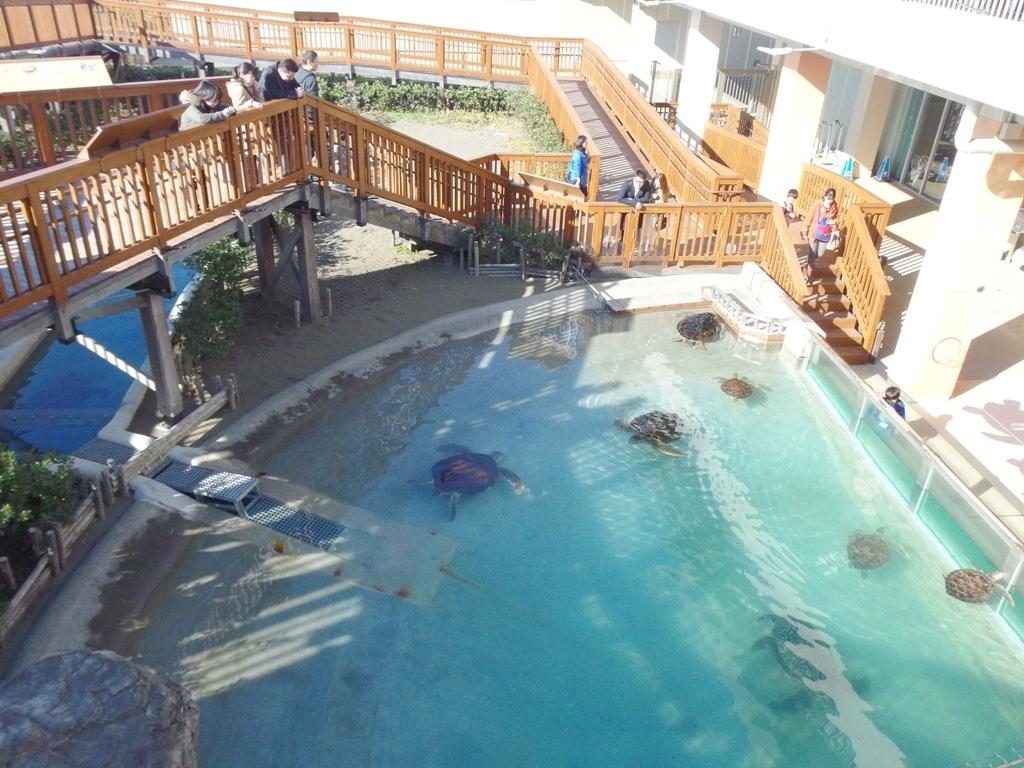 江ノ島水族館 ウミガメ