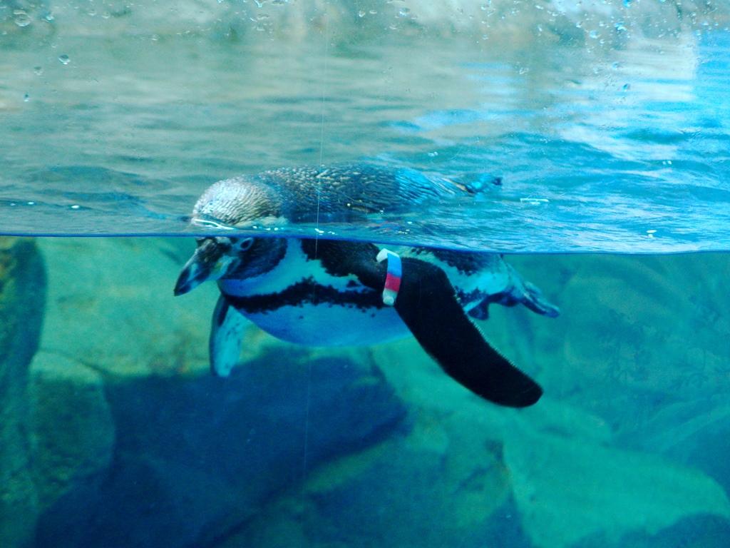 江ノ島水族館 ペンギン
