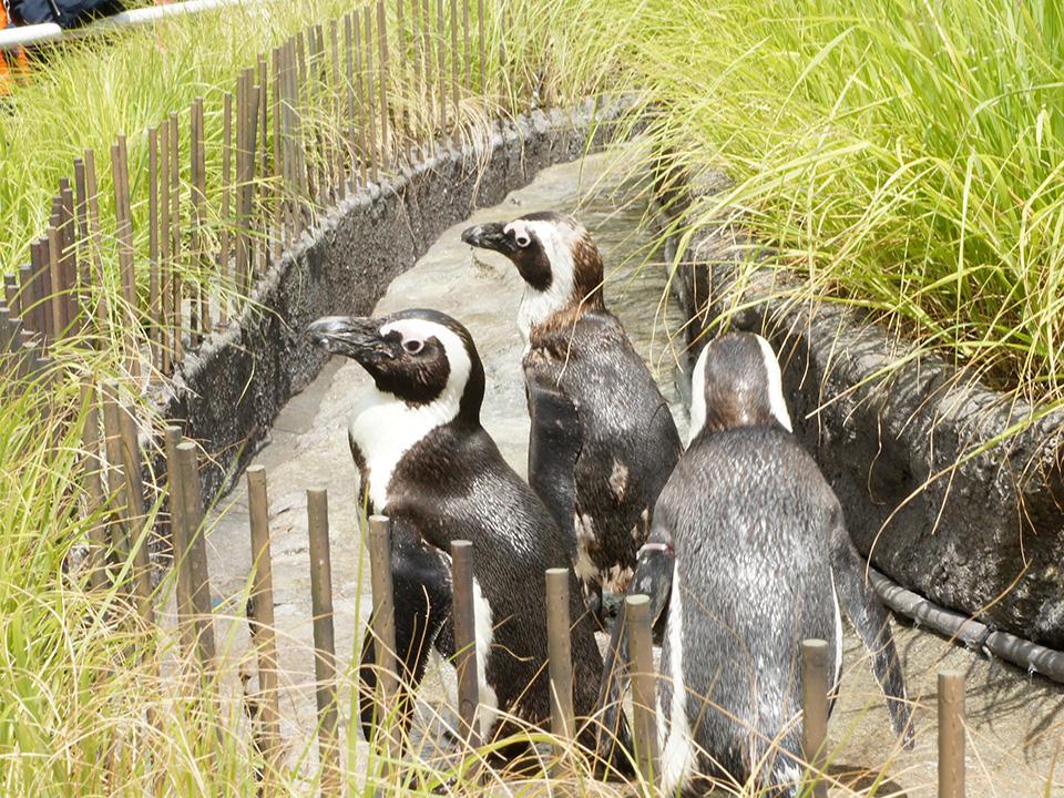 サンシャイン水族館 草原のペンギン