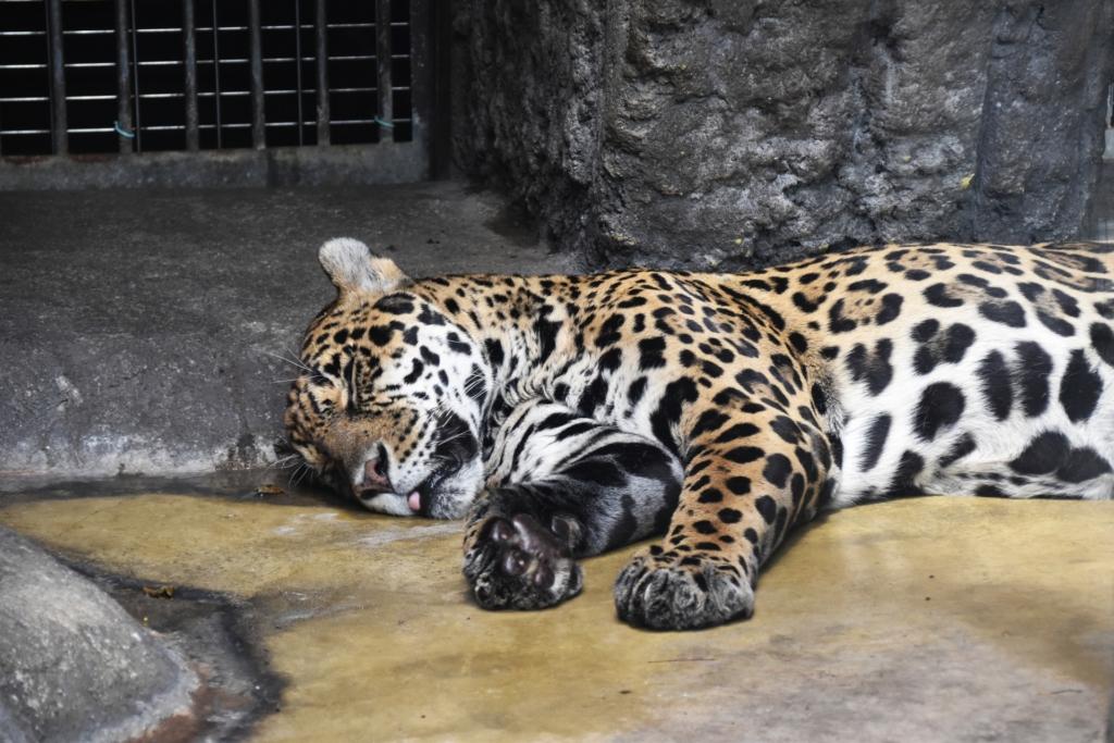 天王寺動物園 ジャガー