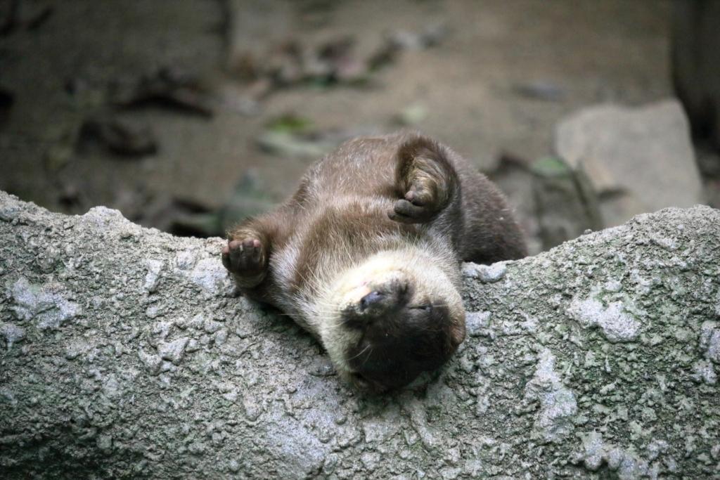 サンシャイン水族館 コツメカワウソ寝顔