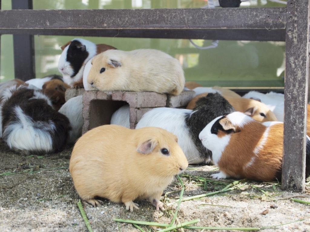 天王寺動物園 テンジクネズミ