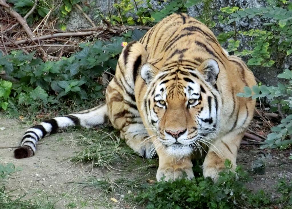 天王寺動物園 アムールトラ