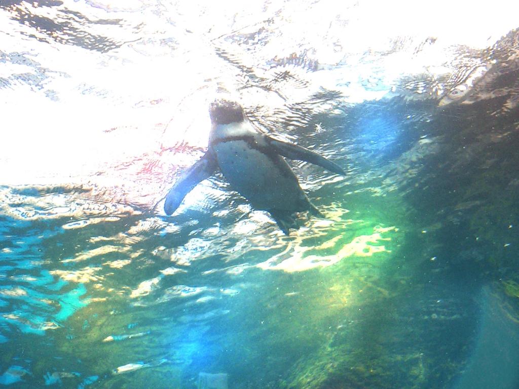 サンシャイン水族館 空飛ぶペンギン3