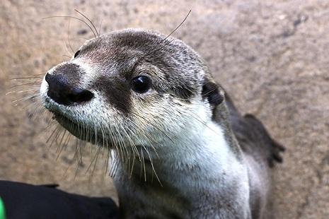 仙台うみの杜水族館 カワウソとアザラシのツメツメツアー
