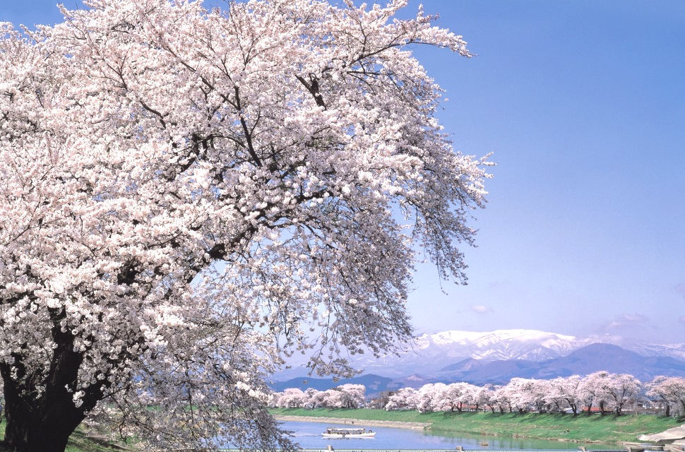 【一目千本桜】大河原町の桜を見に行こう!【おおがわら 桜まつり】