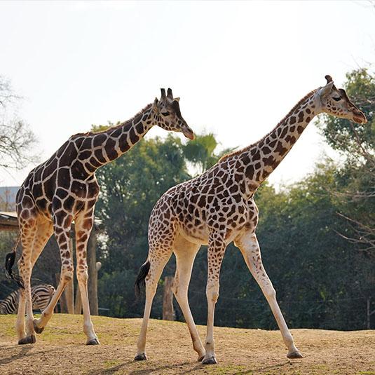 天王寺動物園-アフリカサバンナゾーン