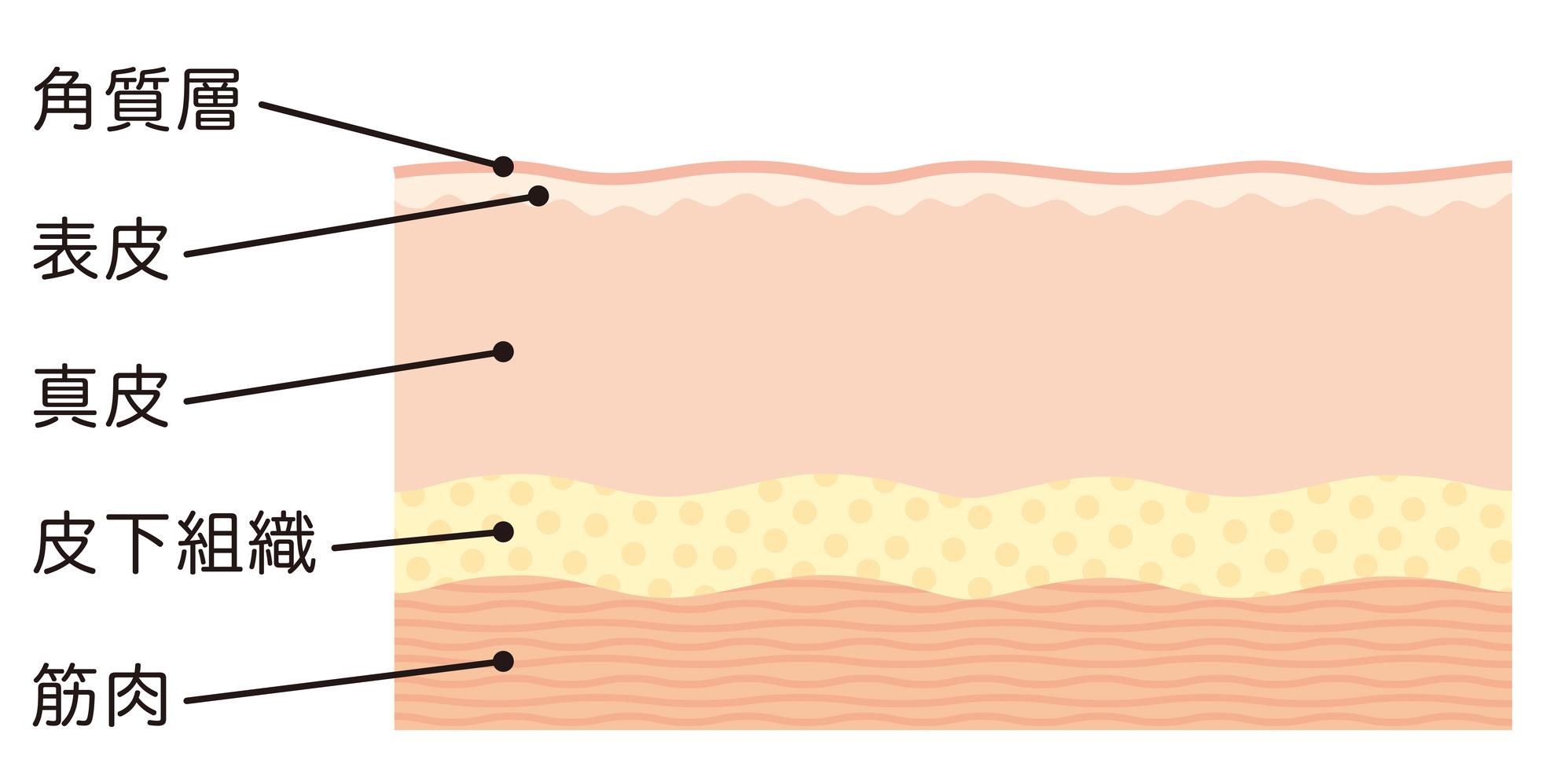 皮膚イメージ